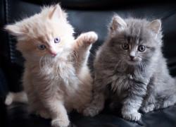 kittens-250